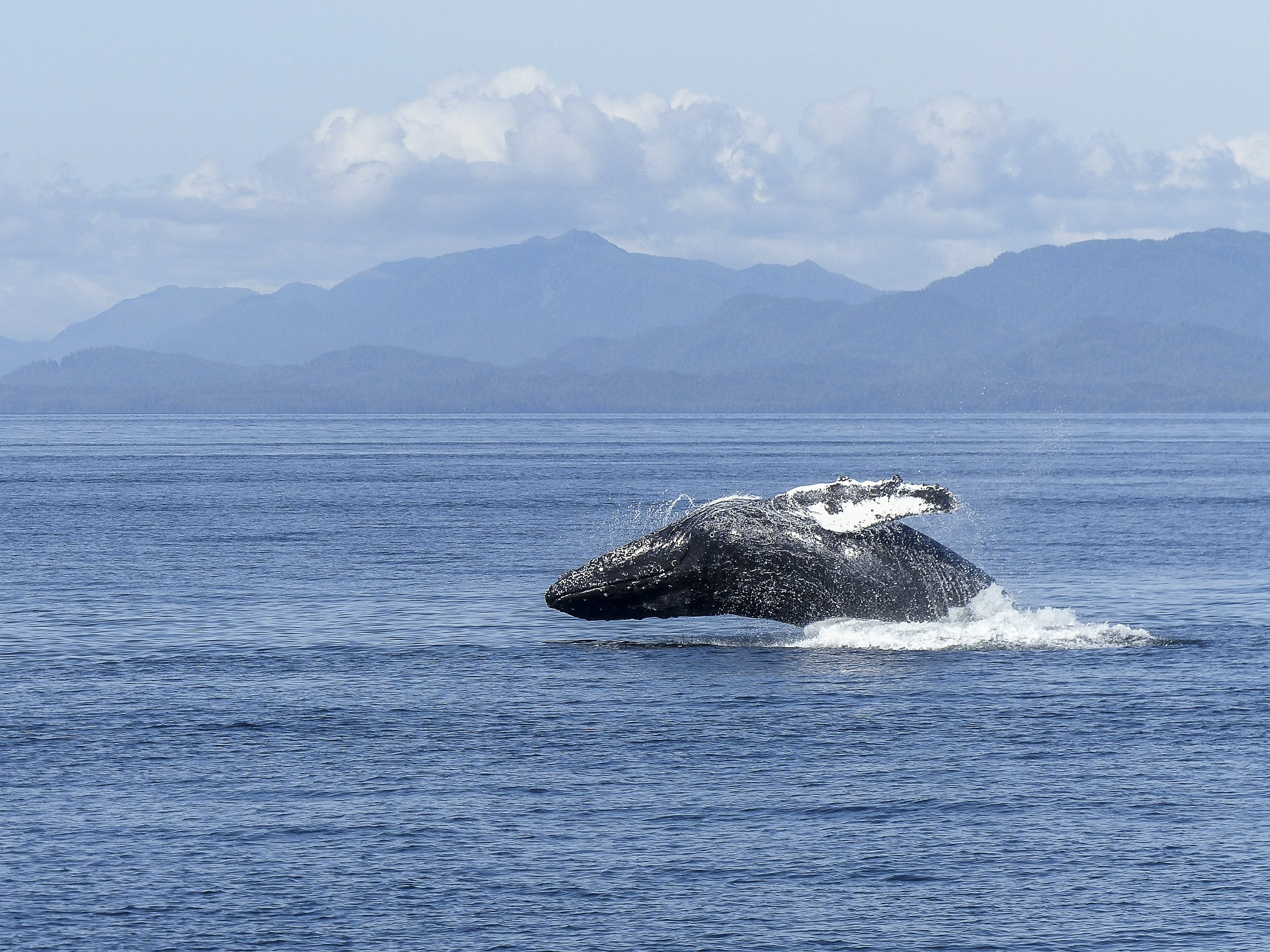 Where To Go Whale Watching In The USA | Humpback Whale