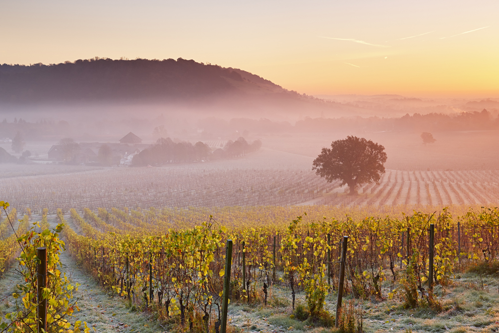 Low lying mist floating over autumn grape vines at Denbies Wine Estate