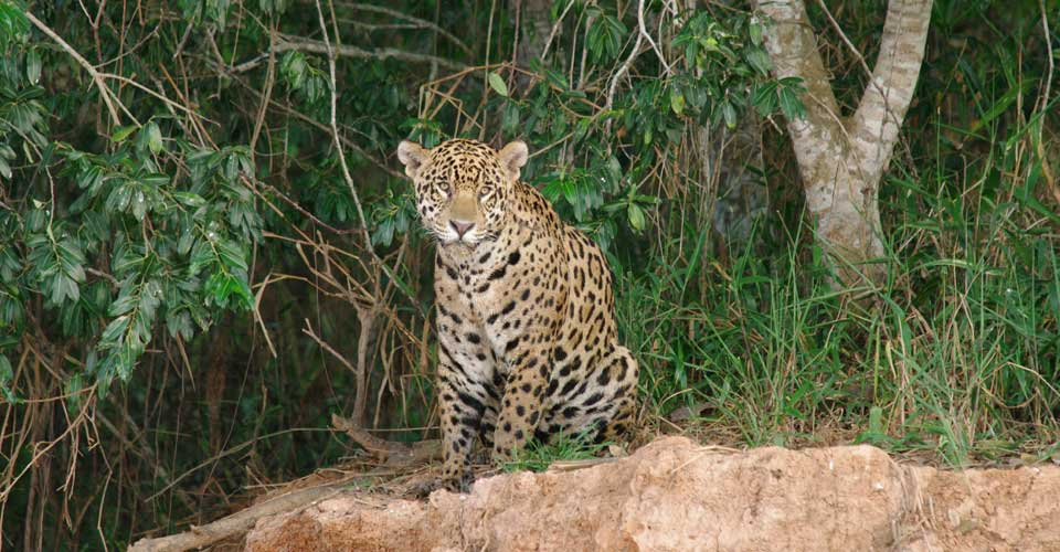 Guide To The World's Best Wildlife Holidays | Part I | Jaguar Spotting in South America