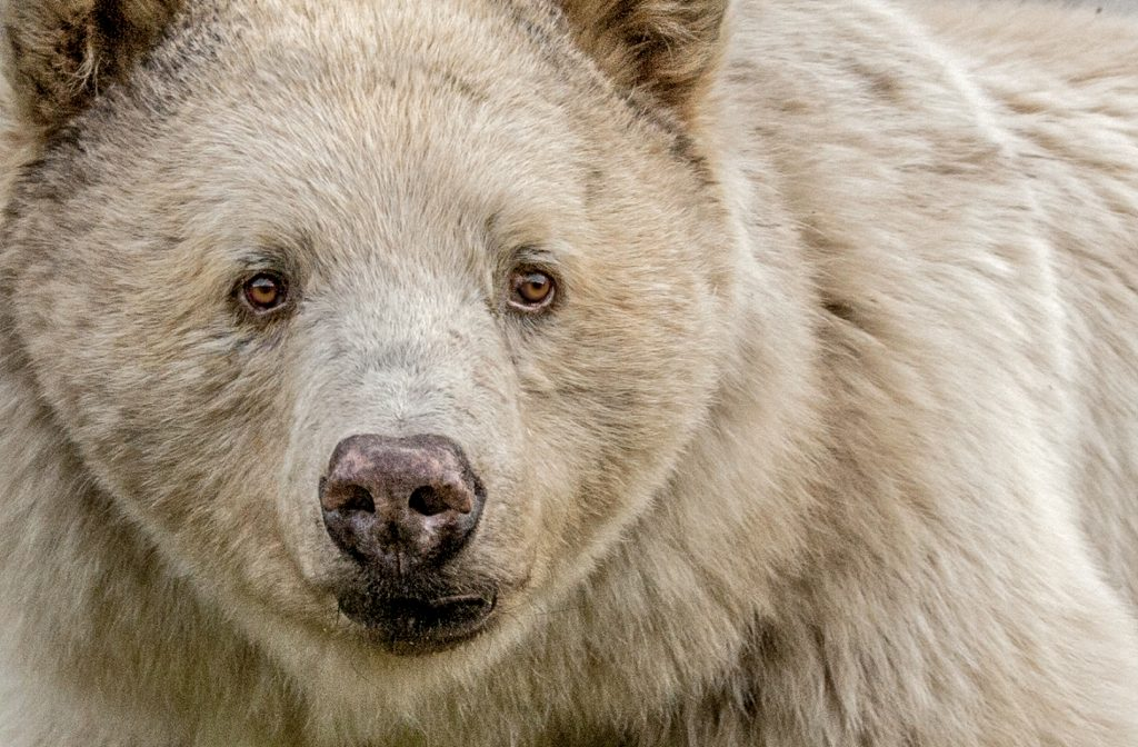 Guide To The World's Best Wildlife Holidays | Part I | The Kermode (Spirit) Bear