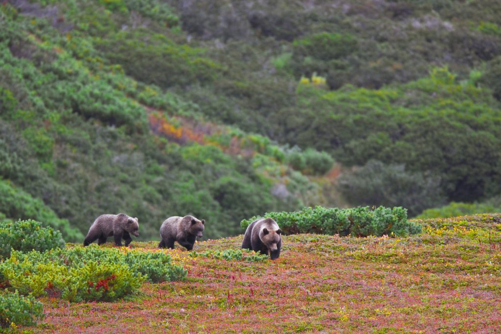 Extraordinary Luxury Autumn Escapes | Part I | Spot Brown Bears Amid The Autumn Colours In Kamchatka