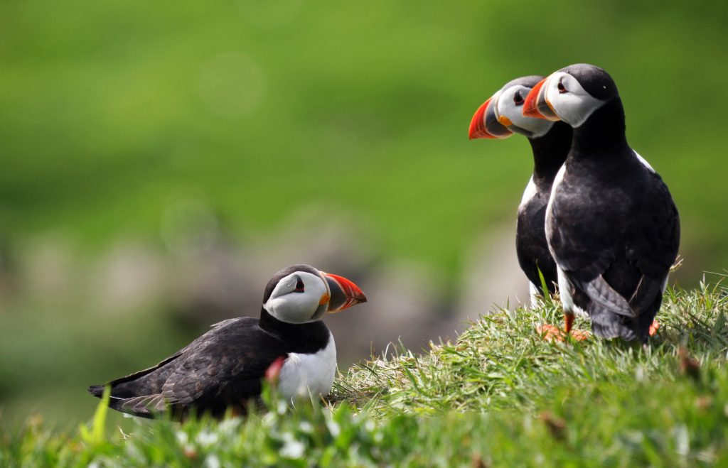 Regal-looking puffins abound on the island of Mykines, where a million of these friendly birds make their homes each year, hopping from grassy hillock to hillock and standing mere feet away from respectful visitors who marvel at their beautiful serenity. (c) Lavur Frederiksen