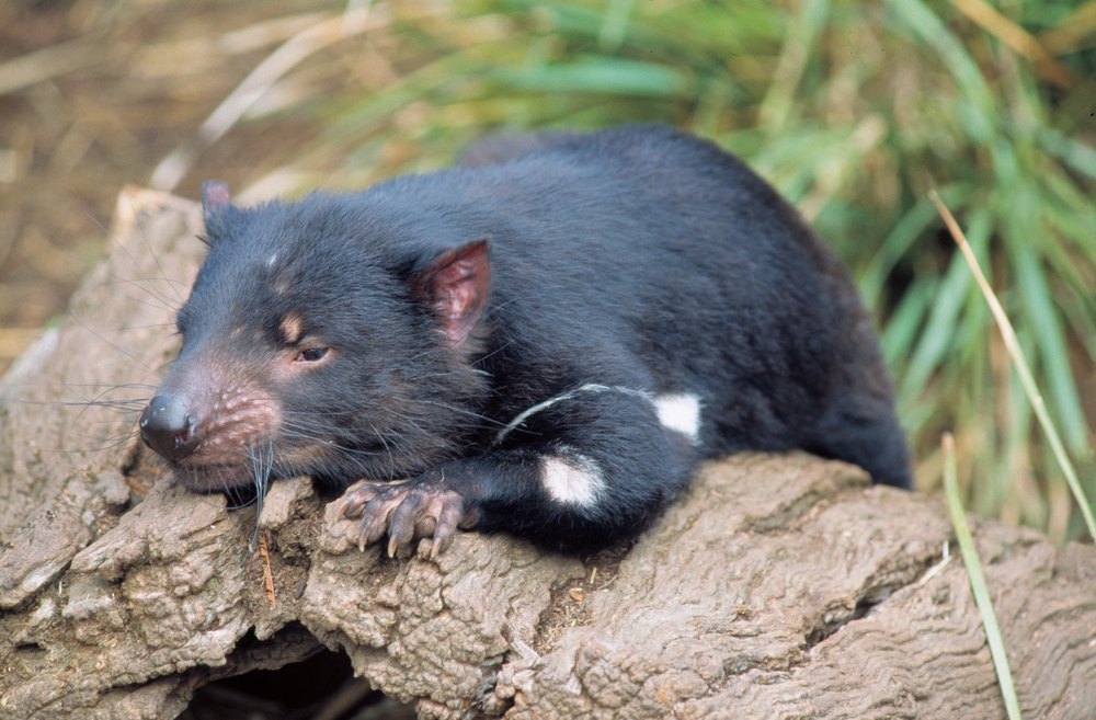 Guide To The World's Best Wildlife Holidays | Part II | Tasmanian Devil | Tasmanian Wildlife