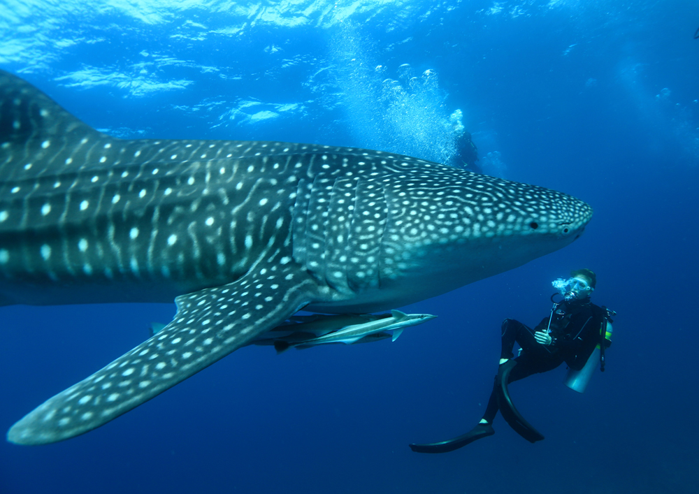Guide To The World's Best Wildlife Holidays | Part II | Swim with Whale Sharks and Manta Rays Year-Round at Mirihi Island