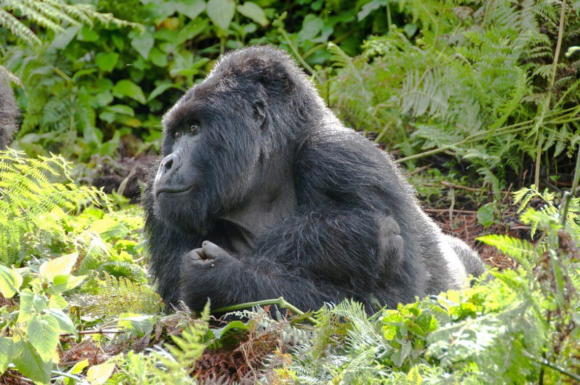 Guide To The World's Best Wildlife Holidays | Part II | Rwanda Mountain & Gorilla Trek