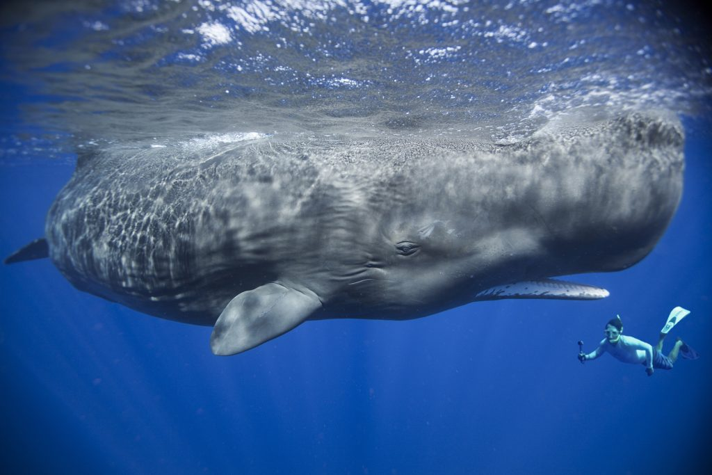 Guide To The World's Best Wildlife Holidays | Part II | Swim with Sperm Whales in Dominica | Photo Credit: Patrick Dykstra